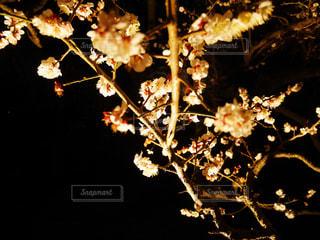 #お花見 #ライトアップ #水戸 - No.406682