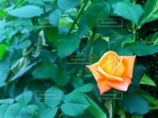 花の写真・画像素材[471611]