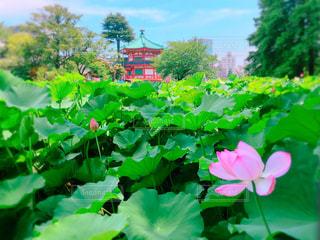 不忍池の蓮の花の写真・画像素材[1368593]