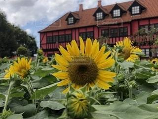 黄色の花の写真・画像素材[1426924]