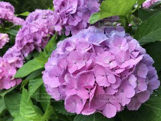 雨,あじさい,紫陽花,梅雨,草木,アジサイ