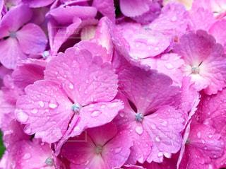 花,雨,あじさい,紫陽花,梅雨,アジサイ