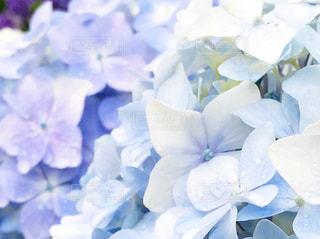 花,雨,あじさい,水色,紫陽花,梅雨,草木,アジサイ