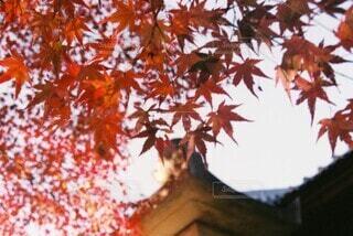 木の紅葉と寺の写真・画像素材[3749414]