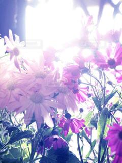 紫色の花一杯の花瓶の写真・画像素材[813186]