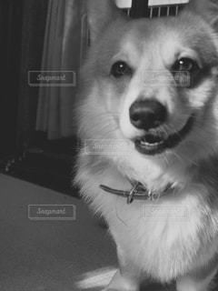 カメラを見て茶色と白犬の写真・画像素材[813219]