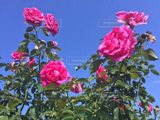 ピンクの花で一杯の花瓶の写真・画像素材[1441921]