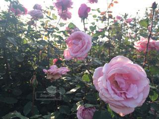 植物にピンクの花の写真・画像素材[1441922]
