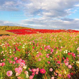 バック グラウンドでひたち海浜公園をフィールドに赤い花の写真・画像素材[1861329]