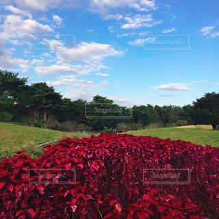 フィールドに赤い花の写真・画像素材[1861339]