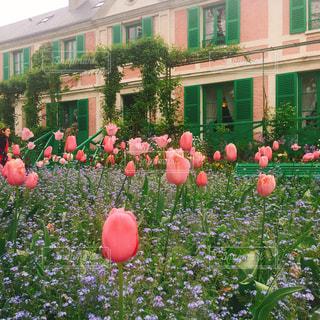 花,ピンク,チューリップ,モネ,ガーデン,モネの庭,ファンシー,ノルマンディー地方,ジヴェルニー,ピンクの家,モネの家,クロードモネ