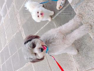 茶色と白犬の敷物の上に横たわるの写真・画像素材[1191740]