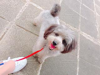 ひもに小さい茶色と白犬の写真・画像素材[1191758]
