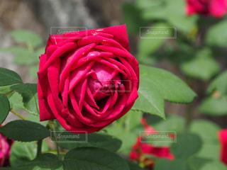 花の写真・画像素材[535933]