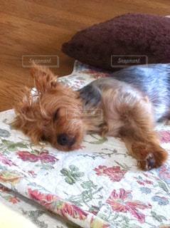 ベッドの上で横になっている茶色と白犬の写真・画像素材[1185537]