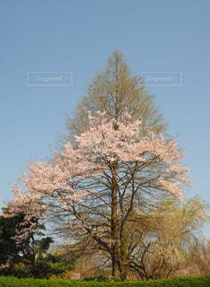 春,桜,ピンク,青空,季節,サクラ,樹木,コントラスト,さくら,融合