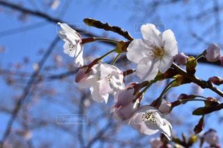 花,春,桜,サクラ,樹木,五分咲き,広島市,さくら,ブロッサム,黄金山