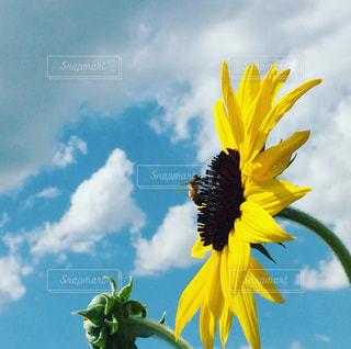 黄色の花の写真・画像素材[715098]