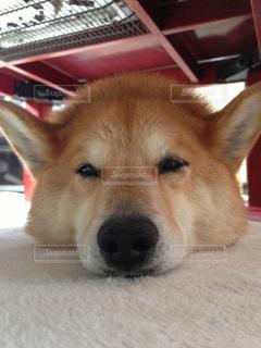 犬,寝顔,眠い,お疲れ,飼い犬,半目