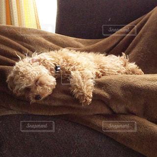 犬,ペット,寝顔,トイプードル,犬の寝顔