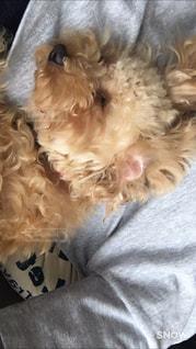 犬,ペット,寝顔,トイプードル,暮らし,犬の寝顔