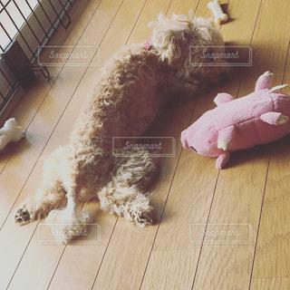 犬,かわいい,ペット,寝顔,トイプードル,Cute,犬の寝顔