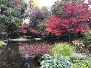 秋,紅葉,熊本,水前寺公園