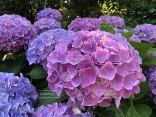 季節,紫陽花,梅雨,梅雨入り