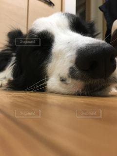 犬,寝顔,ボーダーコリー
