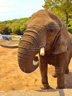 土の中に立っている象の写真・画像素材[754555]