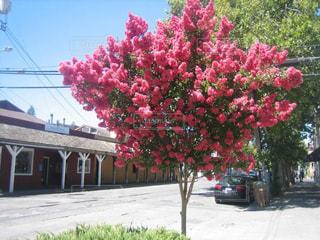 歩道の上のピンクの花の木の写真・画像素材[1012579]