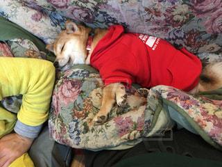 柴犬,お昼寝,休日,こたつ