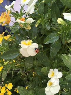ビオラとてんとう虫の写真・画像素材[1382463]