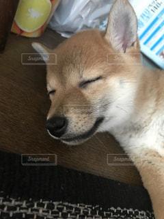 家族,犬,かわいい,ペット,寝顔,わんこ,柴犬,子犬,仔犬,愛犬,わんちゃん,ワンコ,スヤスヤ,シバ犬,芝犬