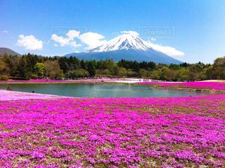 富士芝桜まつりの写真・画像素材[1132492]