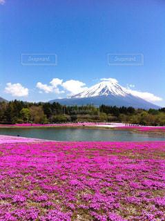 富士芝桜まつりの写真・画像素材[1132832]