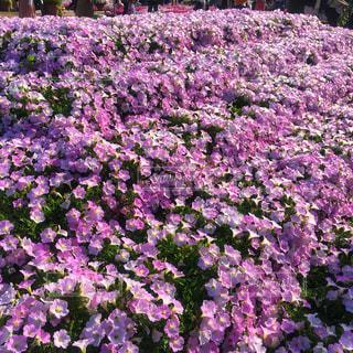 花畑の写真・画像素材[1154926]