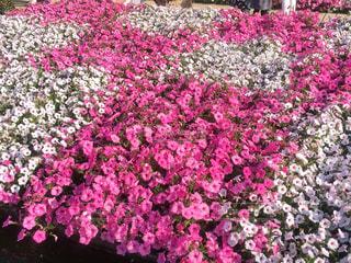 花畑の写真・画像素材[1154941]