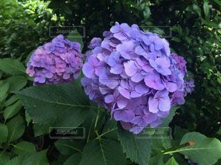 雨,傘,あじさい,紫陽花,旅行,梅雨,ムラサキ,六月