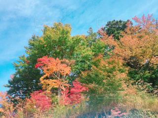 色づき始めた高尾山の写真・画像素材[852482]