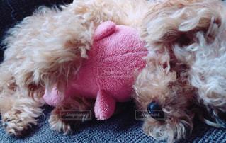 犬,かわいい,仲良し,寝顔,ぬいぐるみ,トイプードル,愛犬