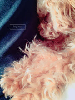 犬,かわいい,仲良し,寝顔,ぬいぐるみ,トイプードル,愛犬,犬の寝顔