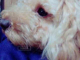 犬,かわいい,トイプードル,愛犬,悲しい顔