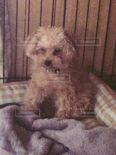 犬,かわいい,トイプードル,愛犬,寂しい,悲しい顔