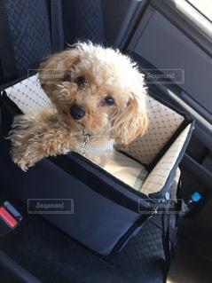 犬,かわいい,トイプードル,愛犬,不安,ドキドキ,なんだこれ,悲しい顔,初めてのドライブ