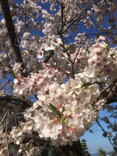桜の写真・画像素材[1994117]