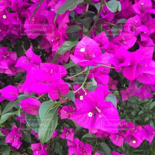 近くに紫の花の房のアップの写真・画像素材[875262]