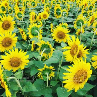 ひまわり畑の写真・画像素材[1123796]
