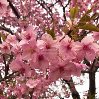 河津桜の写真・画像素材[1812821]