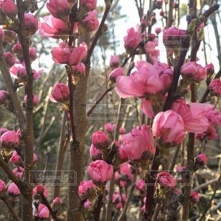桃の花の写真・画像素材[1824698]